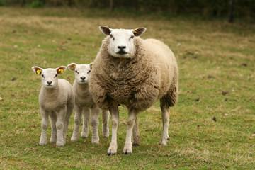 Mother sheep and lamb looking at you
