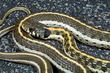 A western black-necked garter snake (Thamnophis cyrtopsis)