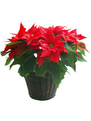 poinsettias photos royalty free images graphics vectors videos adobe stock. Black Bedroom Furniture Sets. Home Design Ideas