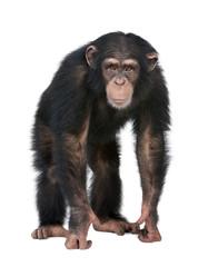 Fotorolgordijn Aap Young Chimpanzee looking at the camera - Simia troglodytes (5 ye