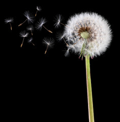Dandelion seeds in the wind