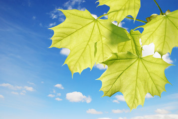 closeup of backlite maple leaves