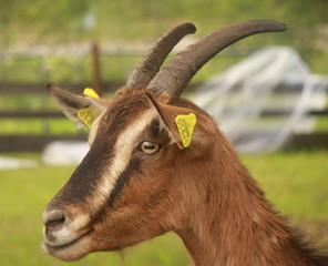 La capra.