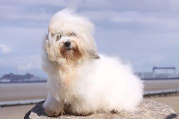 coton de Tulear assis sur un rocher en bord de mer - vent