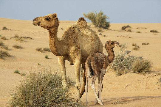 Kamelmutter+Kind