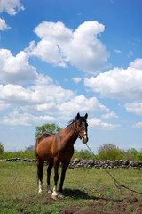horse at field
