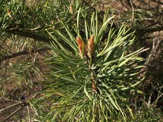 the Pine