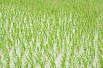 Young Rice Paddy Field