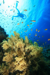 Scubadiver silhouette over coral reef