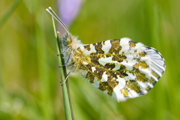 Close-up of Orange tip butterfly (female)