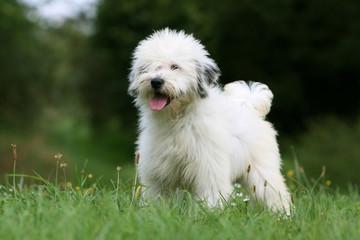 pose fière du jeune terrier du tibet debout dans le jardin