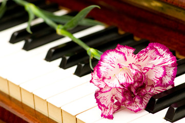 Romantic concept - red carnation on piano keys
