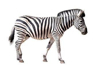 Photo sur cadre textile Zebra Détourage de profil d'un zèbre des plaines