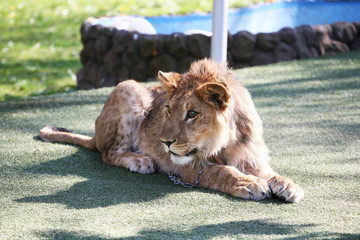 Lion on a chain in a zoo