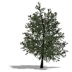 3D Render of a broadleef Tree