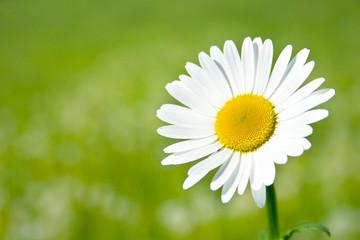 Margerite vor unscharfer Blumenwiese