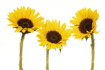 Yellow Sunflower isolated on white Vibrant