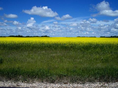 Prairie Canola