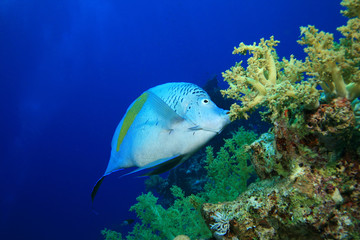 Yellowbar  Angelfish (Pomacanthus maculosus) feeding on coral