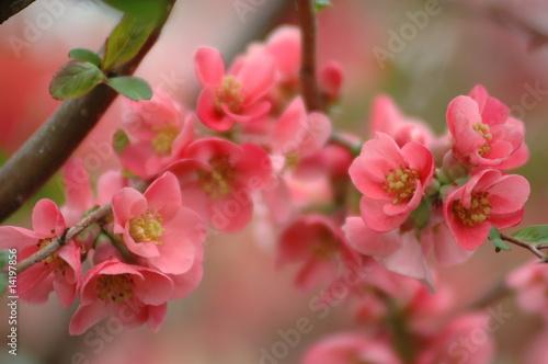 fleurs de pommier du japon photo libre de droits sur la. Black Bedroom Furniture Sets. Home Design Ideas