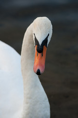 Canvas Prints Swan bedelende zwaan