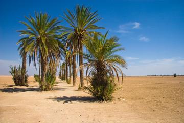 Palms in the desert | Morocco