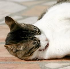 chat faisant sa toilette sur la terrasse
