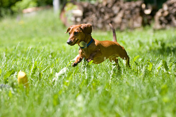Miniature Dachshund pouncing on toy