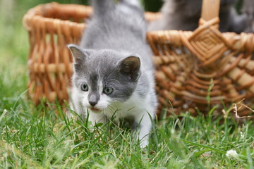 chaton gris et blanc