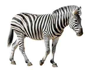 Canvas Prints Zebra Détourage d'un zèbre des plaines