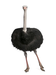 male ostrich - Struthio camelus
