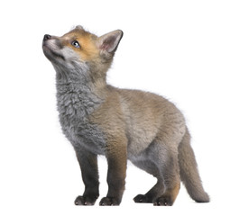 Red fox cub looking up (6 Weeks old)- Vulpes vulpes