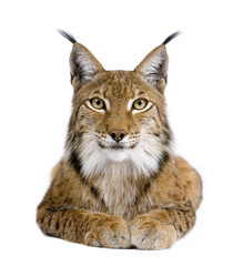 Photo sur Aluminium Lynx Eurasian Lynx - Lynx lynx (5 years old)