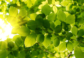 Wall Mural - Green leaves with sun ray