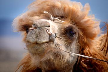 Kamel in der Mongolei