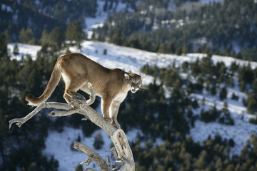 Printed kitchen splashbacks Puma Mountain Lion od Dead Tree Snag