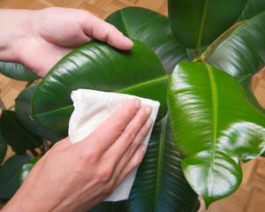gummibaum pflege baum wischen