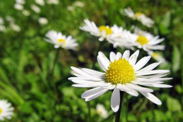 daisies - Gänseblümchen 3