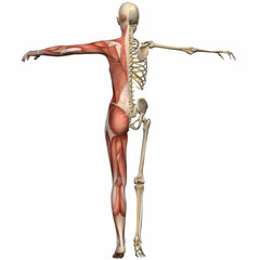 Weiblich Anatomischer Körper