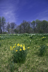 Daffodils naturalized in a field with blue sky vertical