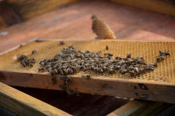 Bienen auf ihren Waben