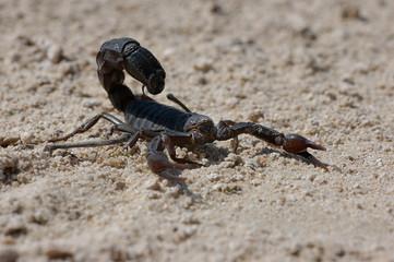 Scorpion _ Androctonus Crassicauda