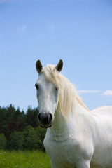 white horse on the meadow, portrait