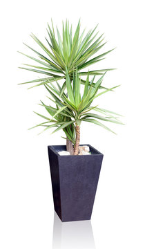 House plant - yucca