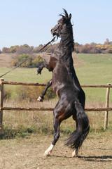 Brown saddle horse