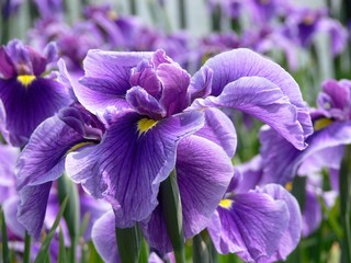 Photo sur Toile Iris Purple Flag Iris
