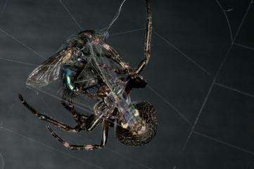 raignée capture une mouche