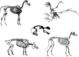 Animals skeleton