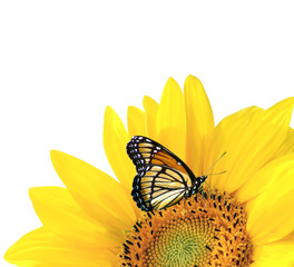 Yellow sunflower with butterfly isolated