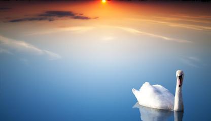 Beautiful Swan at Sunset